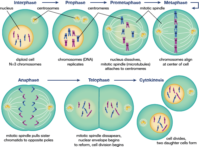 the 5 phases of mitosis